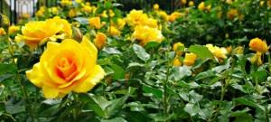 niesamowite piękno róż parkowych